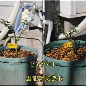 「フィンガーライム」の接ぎ木苗と穂木が届く