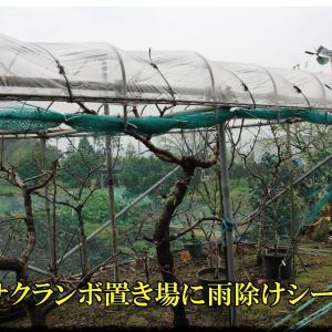 庭先「さくらんぼ置き場」に雨除けシート展張