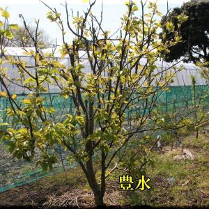 下の畑2では各種果樹の開花が続いています。