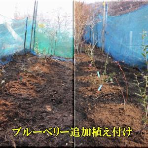 ブルーベリー圃場に追加接ぎ木苗の移植(下の畑1)