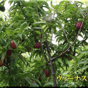 スモモ類の様子と桃を少し(下の畑2)