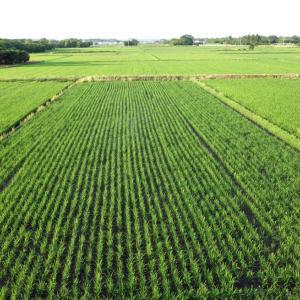 裏の田んぼは緑の絨毯を敷き詰めたよう