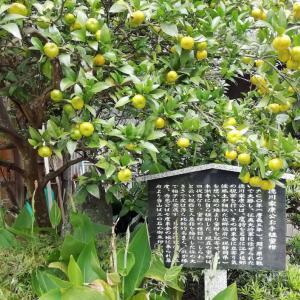 徳川家康お手植えの蜜柑