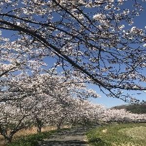 青空の下、綺麗な桜並木の写真を( ^ω^)・・・