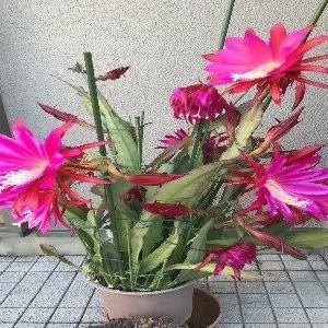 重苦しかったここ数日から・・・和ませてくれたサボテンの花に(^^♪
