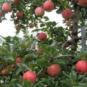 相模原市地場産りんご ~ 千秋  北丹沢の麓で育てています。