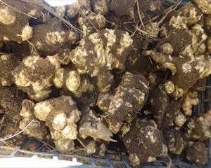 白菊芋・・・洗い芋・土付きと    菊芋生産・販売  相模原市高城商店