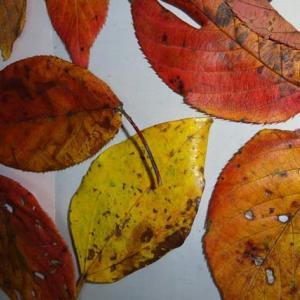 生菊芋 白・赤~無農薬畑から掘り出しています  通販・直売・生産も