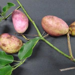 むべ ~無病長寿の霊果・・・秋の果物