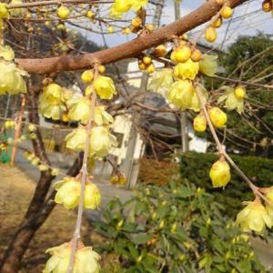 氷点下の真冬でも咲く花 ~ 蝋梅(ロウバイ)・・・北丹沢の麓   (生菊芋の在庫)
