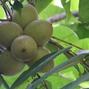 9月の畑  ただの果物(クルミ)