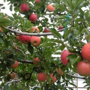 相模原市・青根・<地場産りんご~つがる>  自然の中でたくましく生きる!