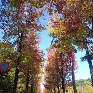 食のてんこもりフェスタ&紅葉の季節♪アメリカ楓通り~時待ちて降れるしぐれの雨やみぬ