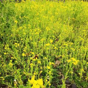 2月なのに、春の足音♪太陽が丘の菜の花畑&家計と時間簿、頑張ろう!!~幾度も春立つ暦見上げたる
