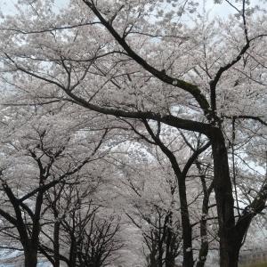 桜のトンネルと綺麗な夕陽&習い事が続々オンラインレッスン♪~ちるさくら落るは花のゆふべかな
