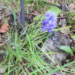 おうち時間♪へんてこ折り紙&お庭 de ハンモック~ムスカリの花言葉は絶望と明るい未来