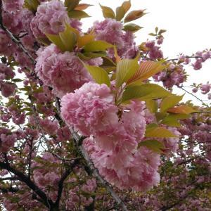 おうち時間♪バスクチーズケーキと、焼きリンゴ~八重桜の花言葉は、豊かな教養
