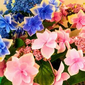 おうち時間♪週末の庭仕事&アベノマスクとアオキマスク~紫陽花の花言葉は「移り気」