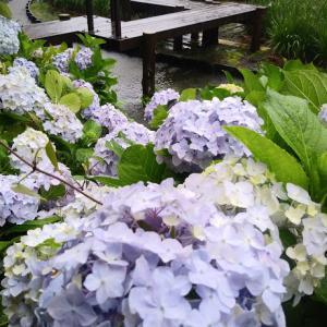 おうち時間♪夜の晩酌を楽しむ&レトルトカレー食べ比べ~青い紫陽花の花言葉は「辛抱強い愛情」