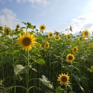 向日葵畑♪北陸大学より&スズメウリを飾る&新しいトゥシューズ~向日葵の花言葉は「憧れ」