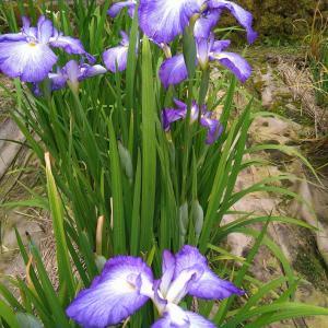 卯辰山の花菖蒲園♪見頃です&今週のお弁当~花菖蒲の花言葉は「伝言」
