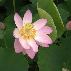 古代蓮に魅せられて♪津幡より~蓮の葉は雨も白玉となりにけり