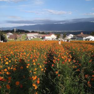 一面のキバナコスモス♪イオックスアローザ~花言葉「野性的な美しさ」
