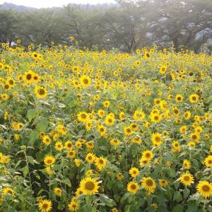 向日葵の空かがやけり波の群♪~北陸大学のヒマワリ畑より