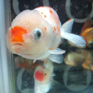 金魚<セール♪