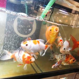 金魚の水換えと猫エサ実験♪