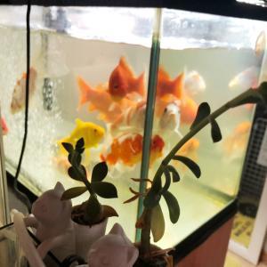 金魚ちょうちんアレンジ♪