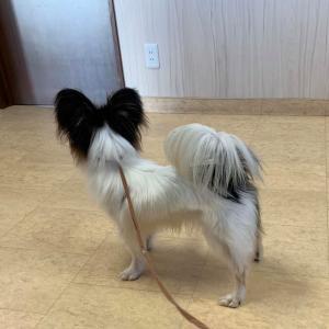 SLパピヨン、子犬へのお問い合わせについて