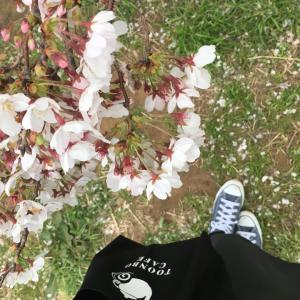 新川の桜。