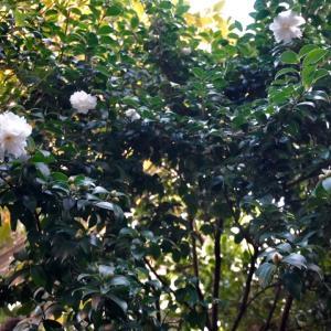 庭の花、サザンカが咲き始めた!、ハナミズキが紅葉している