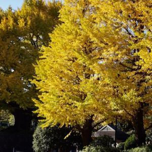 北の丸公園、日本武道館前の公孫樹の黄葉、みごとな美しさに見とれてしまった!
