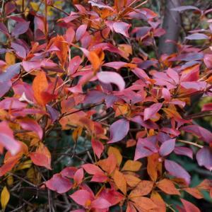 庭の紅葉!、ドウダンツツジ、モミジ