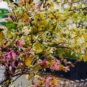 庭の花、源平常葉マンサク、1本の木に紅白の花が!、マンサクはピンクが多い