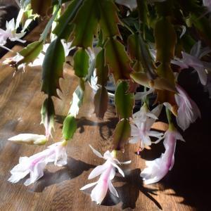 ジャコバサボテン、原産地はブラジル、冬に咲く花、クリスマスカクタス