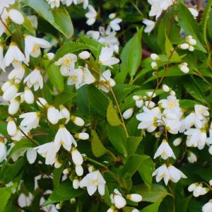 庭の花、卯の花、ウツギという木に咲く花がウノハナ、卯の花はおからとも切らずとも言う