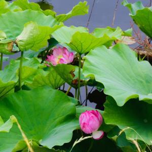 不忍池のハスがもう少しで咲き誇りそう!、あと1週間もすれば満開かもしれないが果たして?!