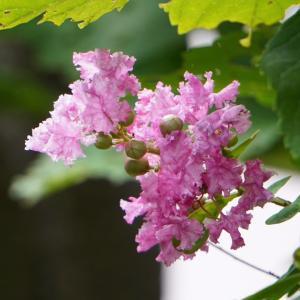 庭の花、サルスベリのピンクの小さな花が咲き始めミカンの実がピンポン球のような大きさになった