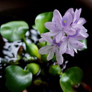 ホテイソウの花が咲いた!、「日下部理容店」、店主の日下部善夫さんからいただいたものが!