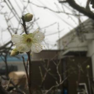 庭先の梅開花