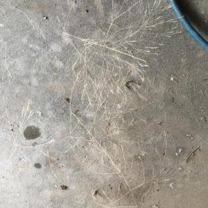 『 コヌカグサ 』と云うイネ科の外来の雑草の襲来。
