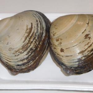北寄貝の刺身と炊き込みごはん