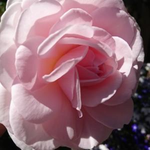 今年も薔薇咲きました~♪ & チャンミン結婚のこと