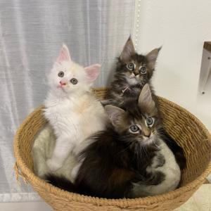 もうすぐご家族募集の子猫たち❤︎