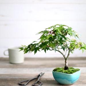教室のご案内*秋から盆栽をはじめてみませんか