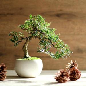 クリスマスに飾る盆栽