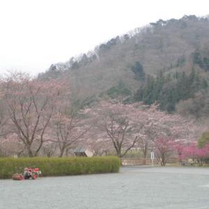 おはようございます。 桜情報